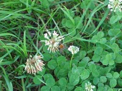 normal white clover