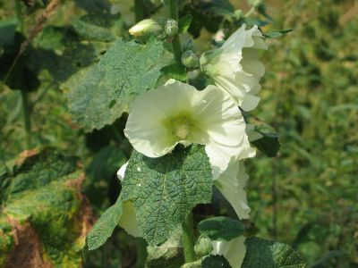 white flowered mallow
