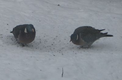 fluffed up pigeons